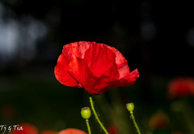 - Remember - the poppy's in the Spring